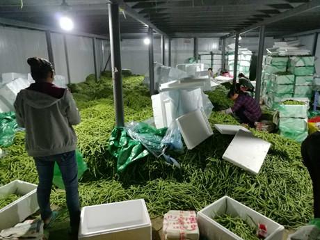 Yunnan green beans: market worries farmers