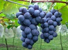 Grapes, Ningxia China