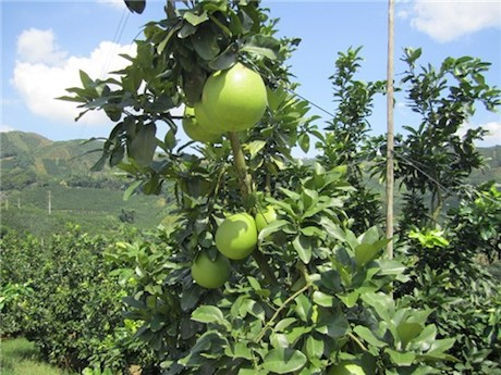 Pomelo Harvesting - How to Harvest Pomelo and Peel - Asian ...