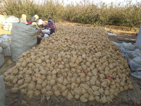 La mela golden fuji e 39 diventata la prima scelta tra i - Mele fuji coltivazione ...